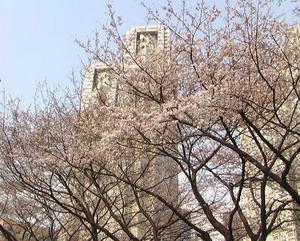 Tavasz Tokióban: cseresznyevirágzás