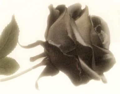A fekete rózsa (Fotó: Fülöp Károly)